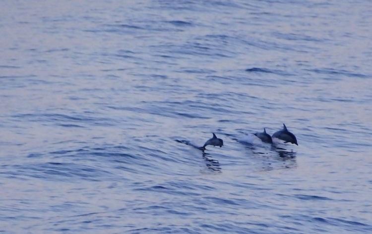 Κόλπος Καβάλας - Κοινά δελφίνια