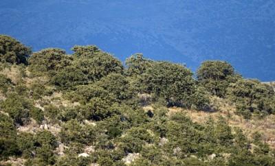 Αρχέγονο δάσος δρυός (Querqus ithaburensis) στη Στερεά Ελλάδα